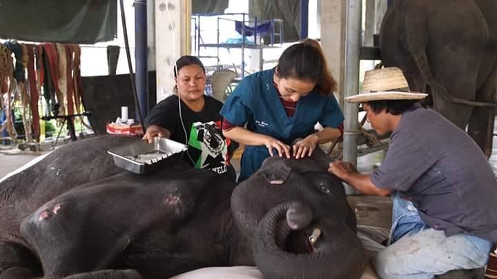 ยาเวชภัณฑ์ และ สัตวแพทย์ เฉพาะทางด้านช้าง